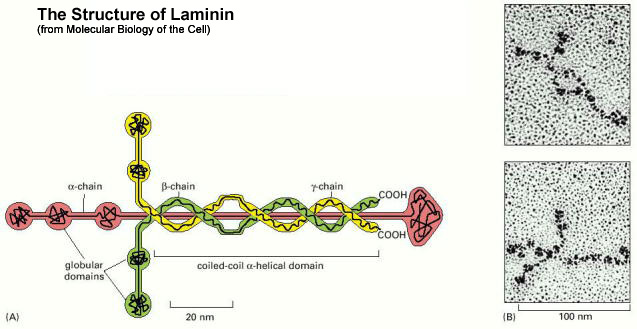 Laminin... the structure that holds the body together.